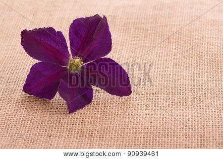 Deep purple Clematis flower on burlap background with copy space