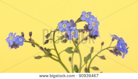 Beautiful blue Forget-me-not flowers on yellow