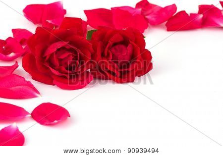 Two roses with scattered rose petals, on white background with copy space