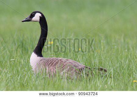 Canada Goose in a Field