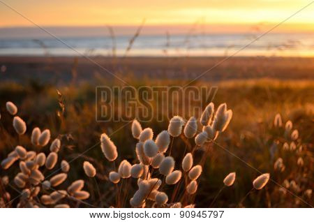 Bunny Tails Grass On A Sunset