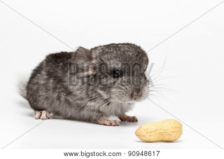 Gray Baby Chinchilla With Peanuts On White