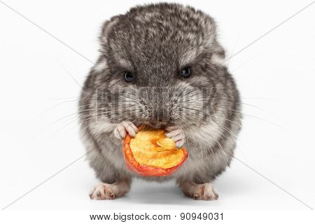 Gray Baby Chinchilla Eating Apple On White