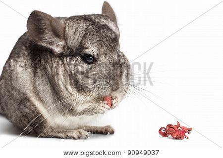 Chinchilla Eating Hibiscus On White