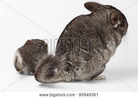 Tails Of Big And Little Chinchilla On White