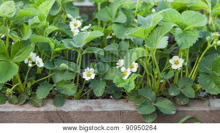 Blossoming Strawberries