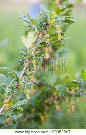 Green Berries Of Gooseberries