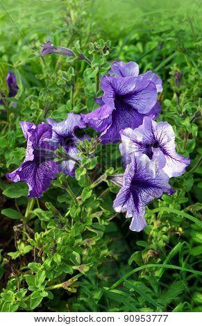 Flowers Petunia In Garden