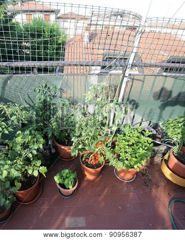 Urban Vegetable Garden With Red Tomatoes