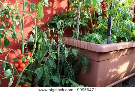 Red Tomato Plant And Green Plants On The Pot In The Balcony
