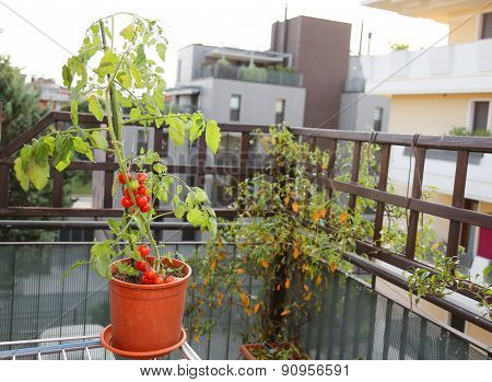 Tomato Plant In The Pot On The Terrace Of A House