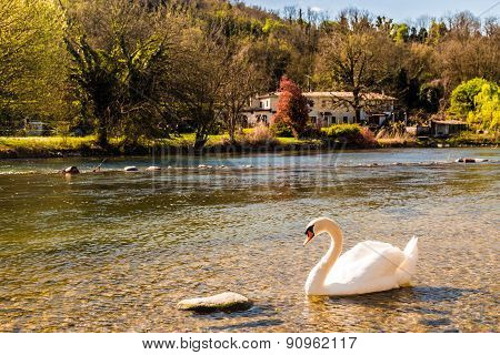 Swan In The River