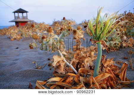 Detailed View  On A Maroccan Desert Plants With Sand, Sea And A Watchtower On The Background