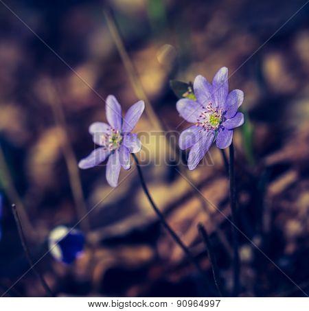 Vintage Photo Of Liverworts Flowers Blooming