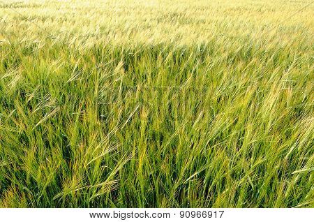 Green Cereal Field In Summer