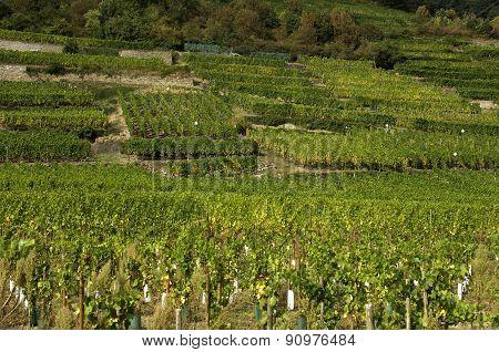 Vineyard Of Kaysersberg
