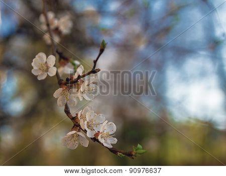Flowering Cherry Closeup