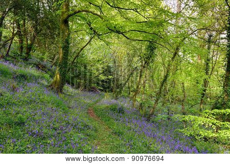 Cornish Bluebell Woods