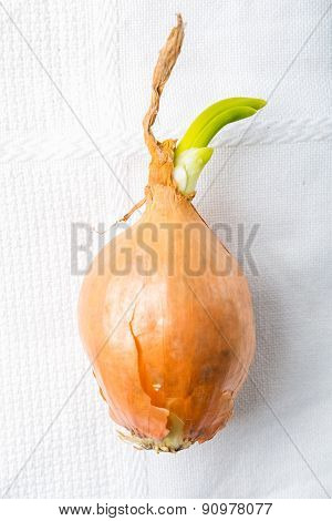 Germinating Onion On White Table