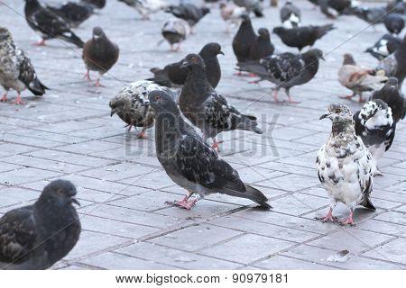 Pigeons Walking Close-up