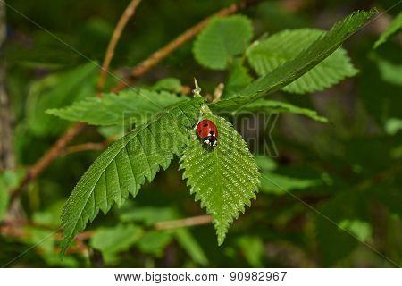 Ladybug Grazing On  Fresh Green Leaf.