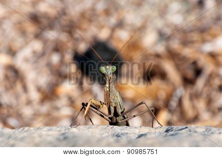 devil flower mantis nymph is sitting on rock