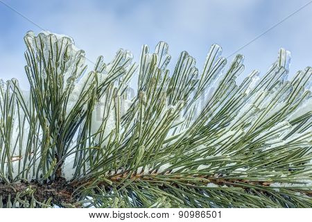ice on pine needles