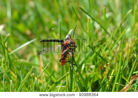 Red Longhorn Beetle