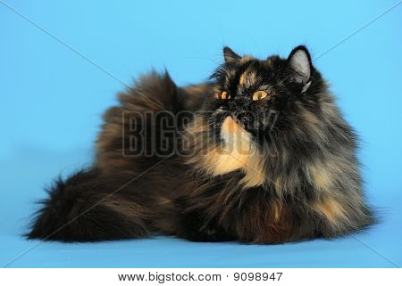 Persian Tortie Cat On Blue