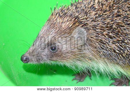Ordinary hedgehog