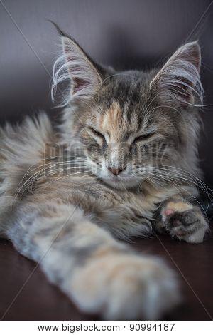 Sleeping maine coon Kitten