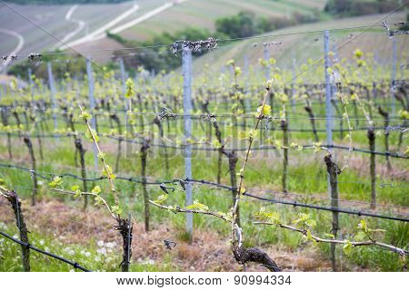 View On Vineyard In Springtime