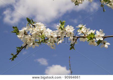 Flowering branch of apple against the blue sky