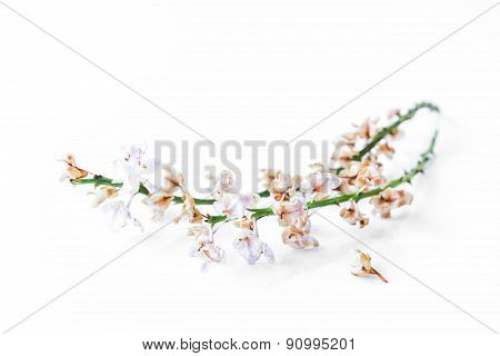Dried Orchid On White Background