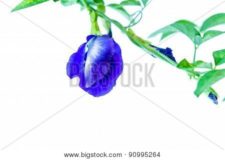 Butterfly Pea Isolated On White