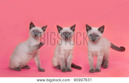 Cute Siamese Kittens on Bright Pink Colorful Background