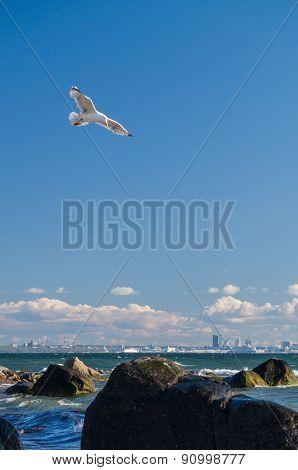 Soaring Seagull Over Baltic Sea Coast Near Tallinn City, Estonia