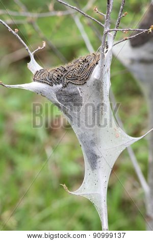 Eastern tent Caterpillar (Malacosoma americanum)