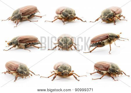 Chafers Isolated On White