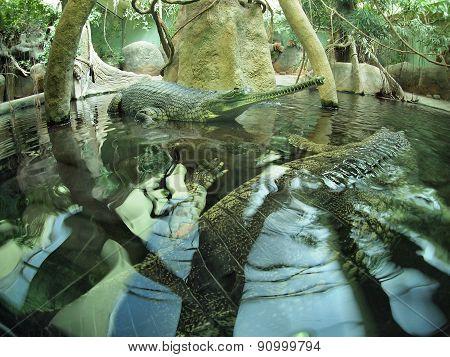 Gavialis Gangeticus In Zoo Pond