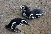 Постер, плакат: Магеллан пингвины на острове