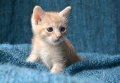 pic of blue tabby  - Cute orange tabby kitten on blue blanket - JPG