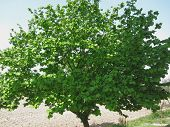 picture of hazelnut tree  - Hazel tree with green leaves in spring in Tuscany Italy - JPG