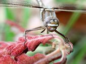 picture of carnivorous plants  - A Didymops transvera stream cruiser dragonfly perches on a plant with red leaves in a midwestern United States of America forest in this macro photo - JPG