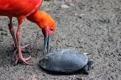 foto of scarlet ibis  - Beautiful Scarlet Ibis playing with a turtle