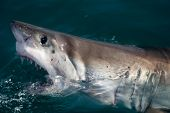picture of great white shark  - A great white shark breaking out of the water - JPG