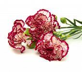 foto of sark  - vareigated carnation flowers isolated on white background - JPG