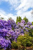 image of azalea  - Beautiful botanic garden with violet azalea bush in Spring.