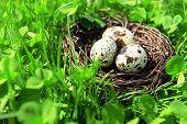 picture of bird egg  - Nest with bird eggs over green bush background - JPG