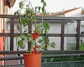 picture of tomato plant  - red tomato plant on the terrace of a house in the city - JPG